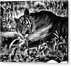 Acrylic Print featuring the photograph Tiger by Hayato Matsumoto