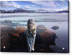 Tiger In A Lake Acrylic Print by Pati Photography