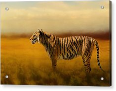 Tiger In The Golden Field Acrylic Print by Jai Johnson