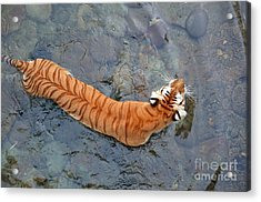 Acrylic Print featuring the photograph Tiger In The Stream by Robert Meanor