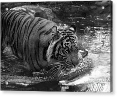 Tiger In The Water Acrylic Print by Lisa L Silva