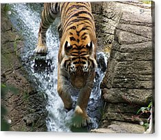Tiger In The Waterfall Acrylic Print by Adam L