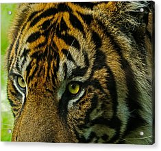 Acrylic Print featuring the photograph Tiger by John Johnson