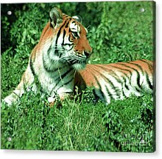 Tiger Acrylic Print by Kathleen Struckle