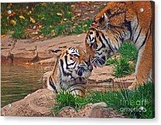 Tiger Kiss Acrylic Print by David Rucker