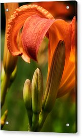 Tiger Lilly Acrylic Print by Bill Wakeley