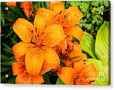 Tiger Lily After Morning Rain Acrylic Print
