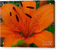 Acrylic Print featuring the photograph Tiger Lily by Bianca Nadeau