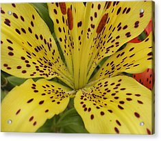 Tiger Lily Acrylic Print by Gregory Young