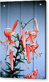 Tiger Lily Acrylic Print