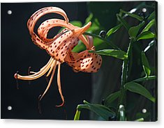 Acrylic Print featuring the photograph Tiger Lily by Susan D Moody