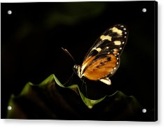 Acrylic Print featuring the photograph Tiger Monarch Butterfly by Zoe Ferrie