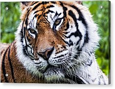 Tiger On Grass Acrylic Print