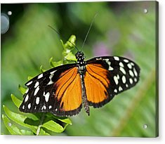 Tiger On The Leaf Acrylic Print by Atchayot Rattanawan