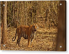 Tiger On The Move In Bamboo Forest Acrylic Print