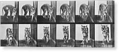 Tiger Pacing Acrylic Print by Eadweard Muybridge