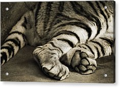 Tiger Paws Acrylic Print