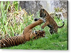 Tiger Play Acrylic Print