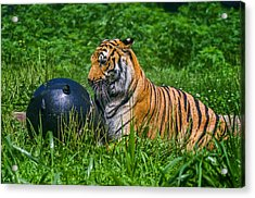 Tiger Playing With Ball Acrylic Print