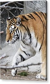 Tiger Prowls Acrylic Print by Michael Petrick