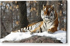 Tiger Relaxing Snow Cover Rock Acrylic Print