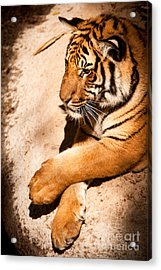 Acrylic Print featuring the photograph Tiger Resting by John Wadleigh