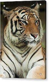 Tiger Acrylic Print by Serene Maisey