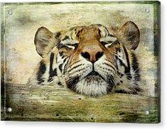 Tiger Snooze Acrylic Print