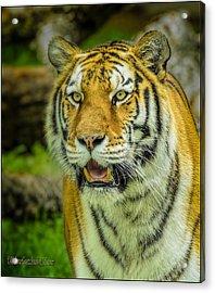 Tiger Stare Acrylic Print by LeeAnn McLaneGoetz McLaneGoetzStudioLLCcom