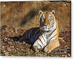 Tiger Acrylic Print by Steven Ralser