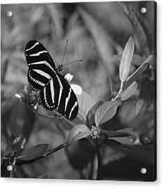 Tiger Stripe Butterfly Acrylic Print