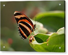 Tiger Striped Butterfly Acrylic Print