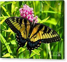 Tiger Swallotail Acrylic Print by Adam Olsen