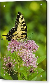 Tiger Swallow Tail Acrylic Print by Bradley Clay