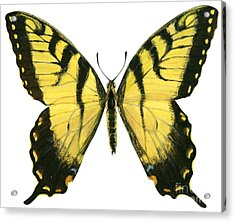 Tiger Swallowtail  Acrylic Print by Anonymous