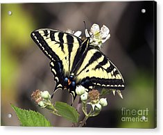 Tiger Swallowtail Butterfly 2a Acrylic Print by Sharon Talson