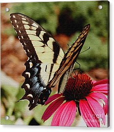 Acrylic Print featuring the photograph Tiger Swallowtail  by James C Thomas