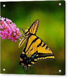 Tiger Swallowtail Butterfly Acrylic Print by Karen Slagle