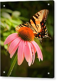 Tiger Swallowtail Feeding Acrylic Print