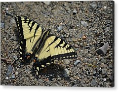 Acrylic Print featuring the photograph Tiger Swallowtail by James Petersen