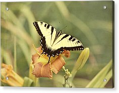 Tiger Swallowtail Acrylic Print by Kim Hojnacki