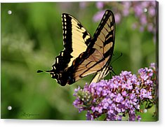 Tiger Swallowtail On Butterfly Bush 2 - Featured In 'comfortable Art' And 'flower W Co' Macro Groups Acrylic Print by EricaMaxine  Price