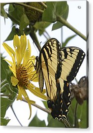 Tiger Swallowtail Acrylic Print by Phyllis Peterson