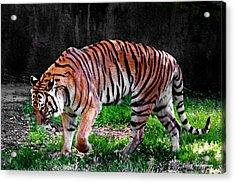 Tiger Tale Acrylic Print