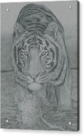 Tiger Through Water Acrylic Print by Rich Colvin