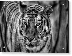 Tiger Tiger Monochrome Acrylic Print by Beth Akerman