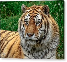 Tiger Tiger Acrylic Print by Yeates Photography