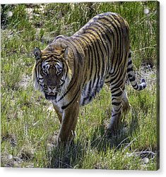 Tiger Acrylic Print by Tom Wilbert