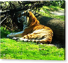 Tiger Too Acrylic Print by B Wayne Mullins