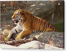 Tiger Tough Acrylic Print by Brigitte Emme